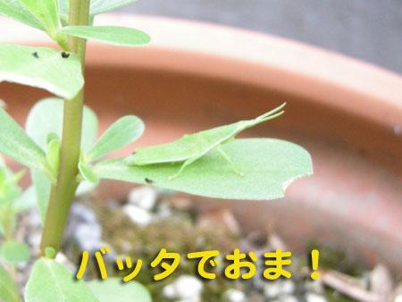 夏バッタ3.jpg